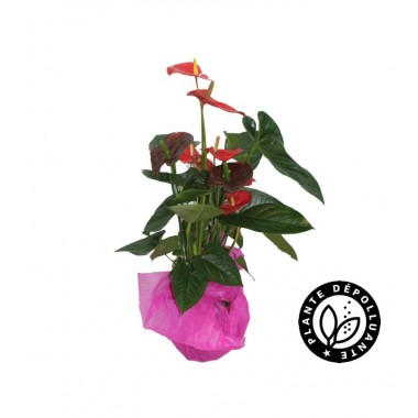 Anthurium pot rose