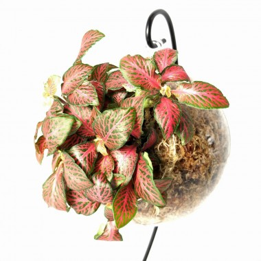 Boule suspendue Fittonia Rouge