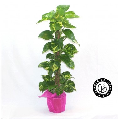 Pothos pot rose