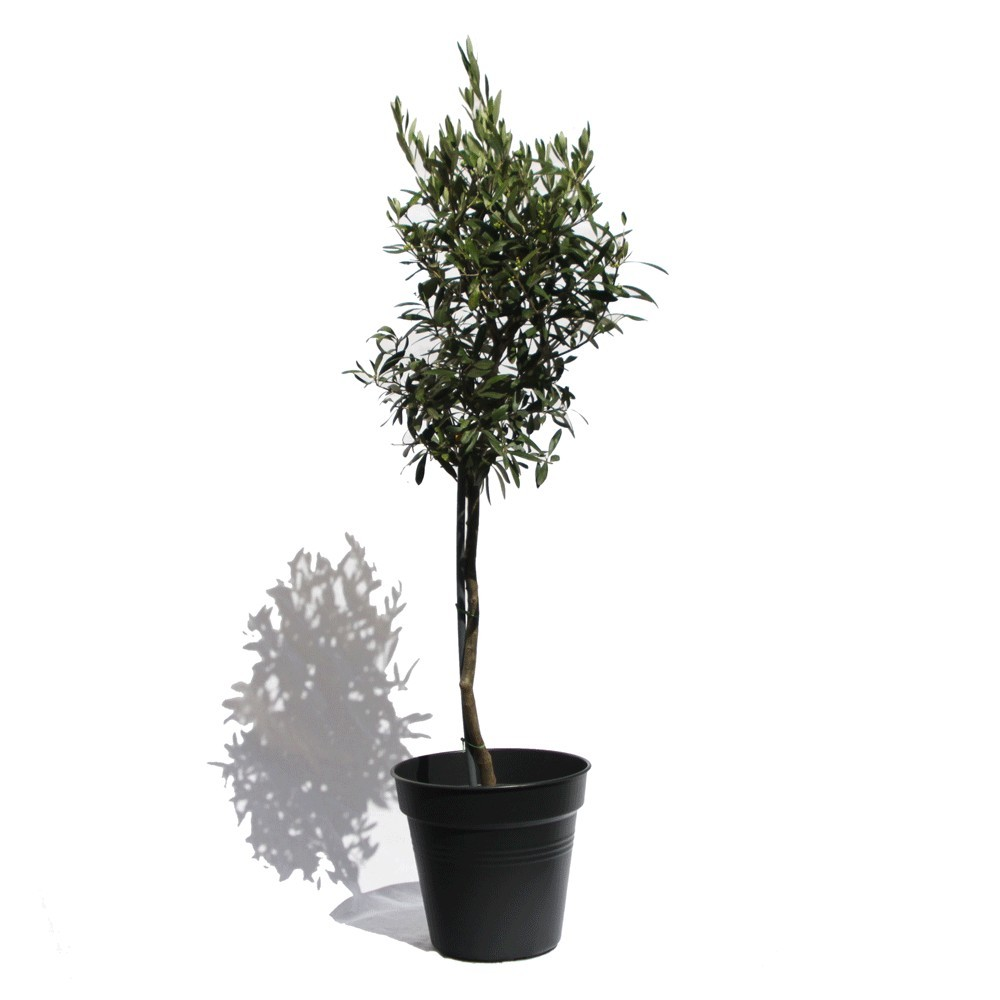 Comment planter un olivier en pot elegant image with comment planter un olivier en pot - Comment planter un olivier ...
